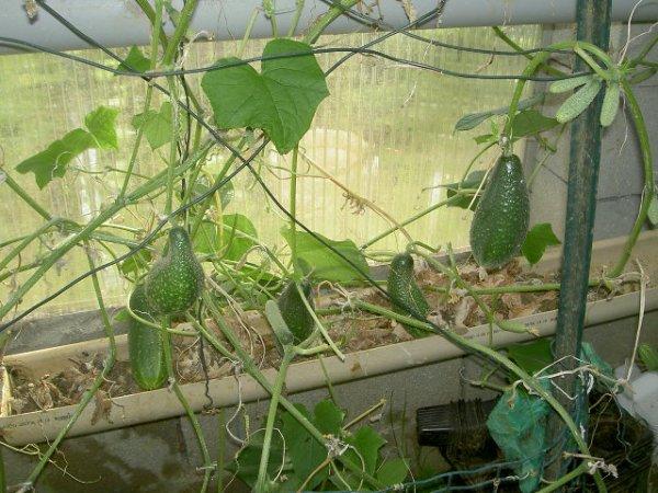 photo du 27 aout 2012 (pour cette année on va dire c'est pas une catastrophe mais heureusement que j'ai une serre qui m'a aidé beaucoup je suis satisfait de tout sauf les prunes car cette année aucune prune alors que l'année derniére j'ai eu une récolte trés abondante)