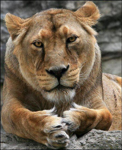 les felins  , majestueux ,  et si captivant ........