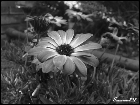 La Dimorphoteca en couleur et noir et blanc .