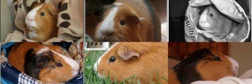 Les cochon d'indes ...