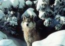 Photo de loups-louves-39