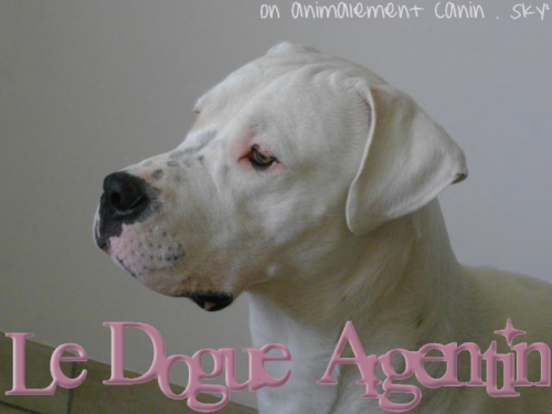 Le Dogue Argentin ; UN M0L0SSE AU C0EUR D'0R <3