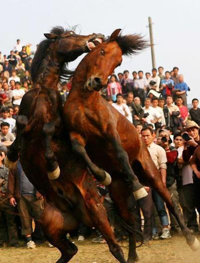 Combats de chevaux ( Âmes sensiblent s'abstenir ! )