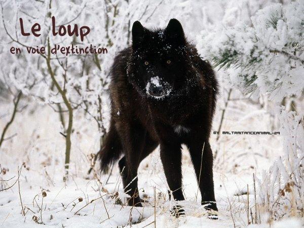 Le loup en danger !