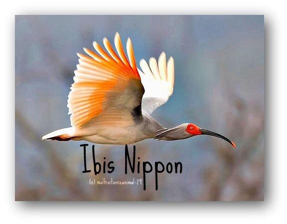 L'Ibis Nippon en voie de disparition