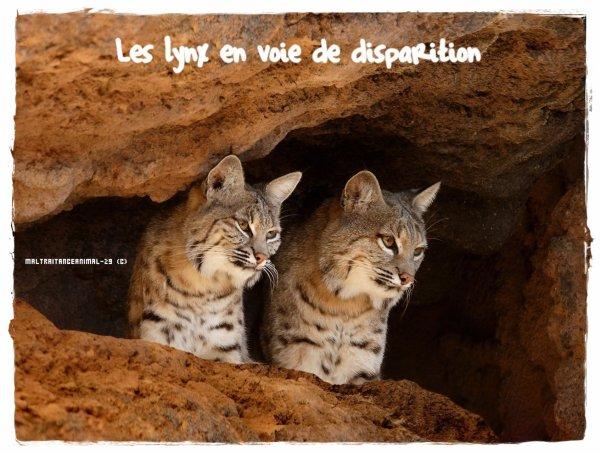 Les lynx, espèce en voie de disparition !