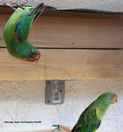MES OISEAUX: Les Perruches de Latham (Swifts)