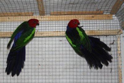 MES OISEAUX: Les Perruches Royales à ailes vertes