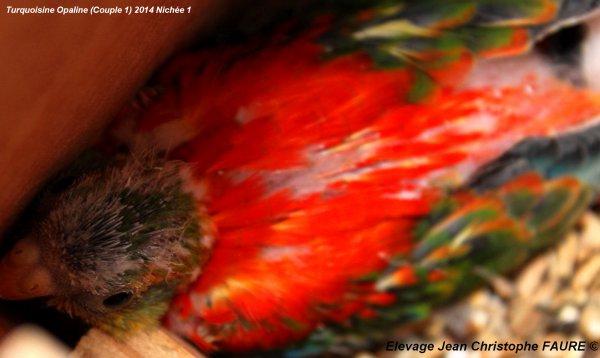 TURQUOISINES Opaline (Couple 1): 1ère nichée 2014, bien rouge