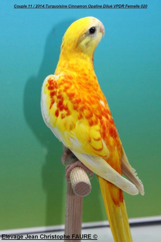 TURQUOISINES 2014: Oiseaux à céder
