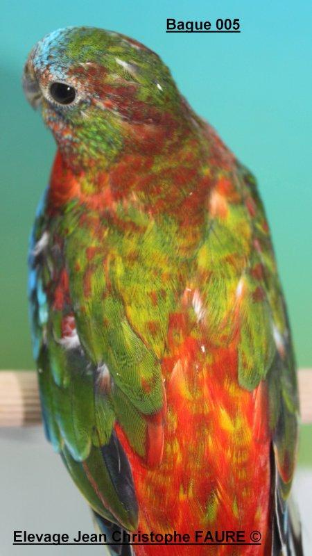 Quelques mâles Turquoisines 2015 à céder...