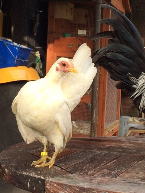 young white pullet, nice shape