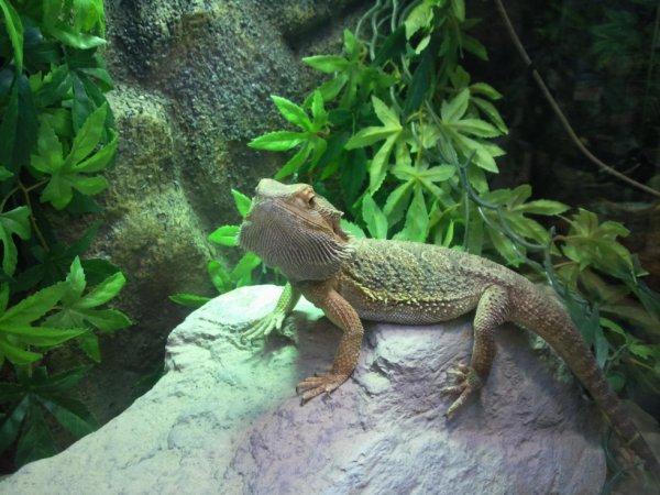 Mon iguane