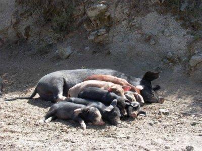 030 - Rentré à bon porc !