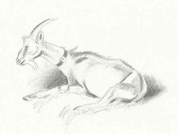 Etude animaux: Chèvre
