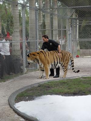 Tigre.