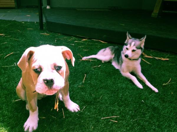 milley cyrus et ses chien
