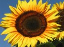 Photo de Xx-Sunflower-xX