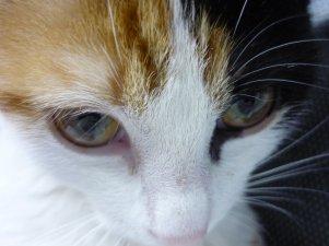 Le chat est d'une honnêteté absolue : les êtres humains cachent, pour une raison ou une autre, leurs sentiments. Les Chats, non... [Ernest Hemingway]
