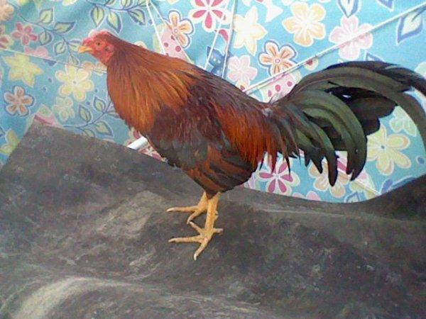 fils de mon coq martiniquais théophille trés bon coq prometeur