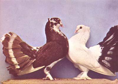 """Issus du livre de Levi """" Encyclopedia of pigeon """". En 1965 couple d'indien à Harvey Gatlin."""