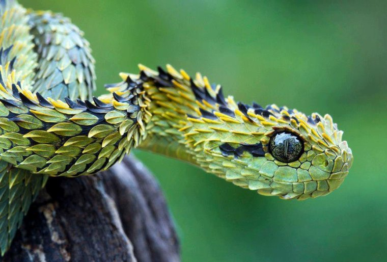 Serpent = Serpens