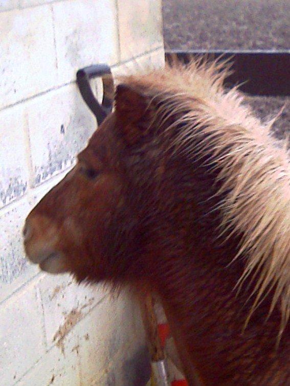 piccolo hongre shetland de 30 ans