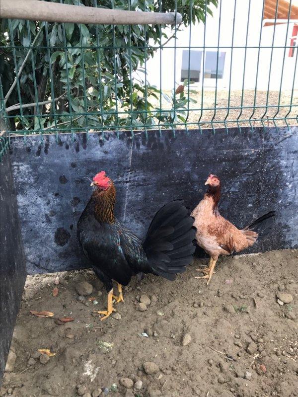 Mi gallo de cría aquí se saca lo bueno y na mas tomaté