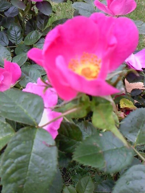Une rose <3