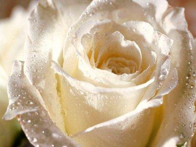Les roses-description et quelques signification