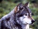 Photo de loups-louves-40
