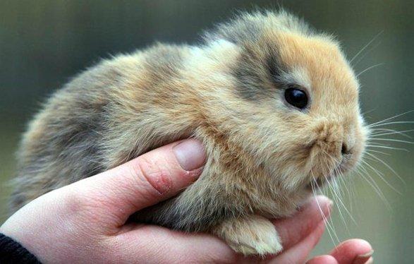 Des lapins sans oreilles