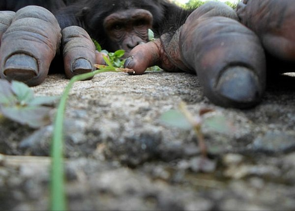 Les chimpanzées peuvent se reconnaître par leurs fesses