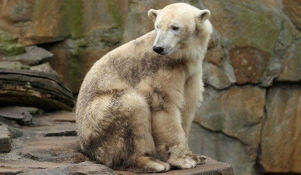 Une nouvelle espèce d'ours
