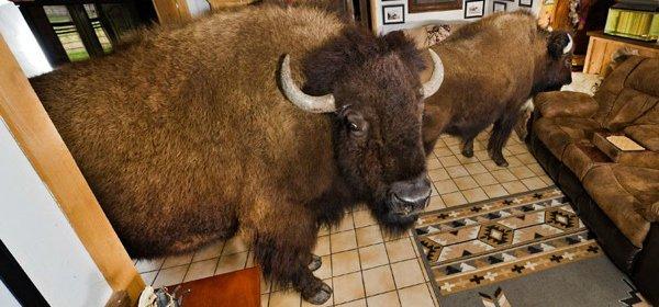 Des bisons domestiques