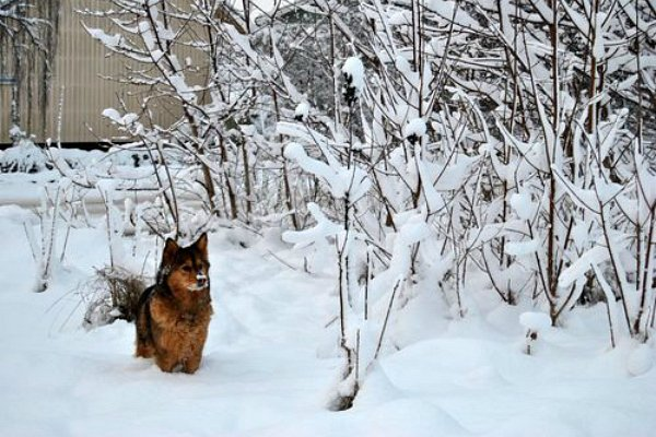 Les chiens et la neige