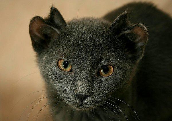 Un chat à quatres oreille