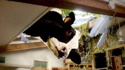 Deux vaches traversent un toit