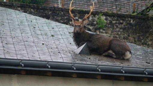 Un cerf coincé sur le toit d'un garage