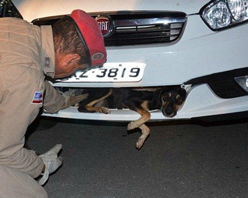 Une chienne survit au choc d'une voiture
