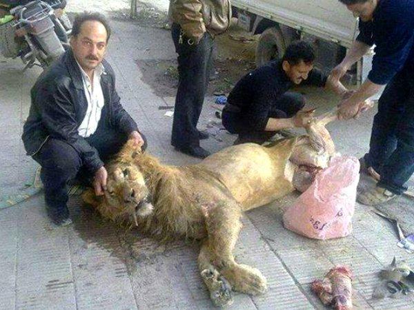 Des hommes affamés s'attaquent au lion d'un zoo
