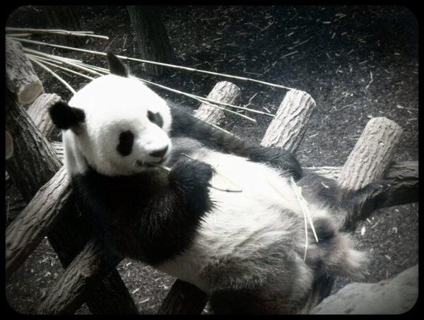 Le panda du zoo de beauval
