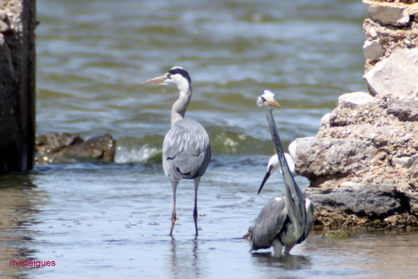 herons cendrees