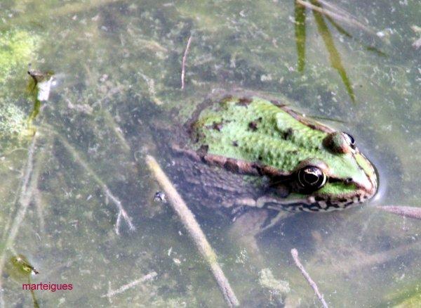 grenouilles du vigueras