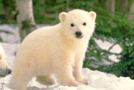 <3 I'm a white bear <3