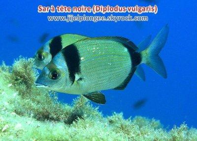 Le Sar ( Diplodus )