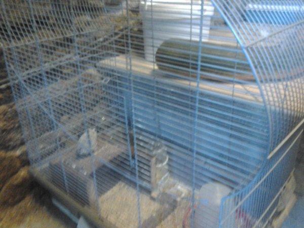 cage de ma caille de chine mâle