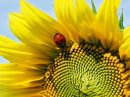Photo de dream-of-sunflowers-life