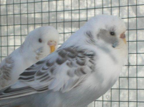 Un nouveau couple de perruches ondulées :)