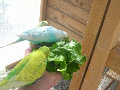 Des perruches ondulées très sociables ...